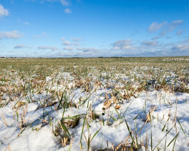 Jonge groene tarwe bladeren in de winter. landschap met lucht en wolken op de achtergrond