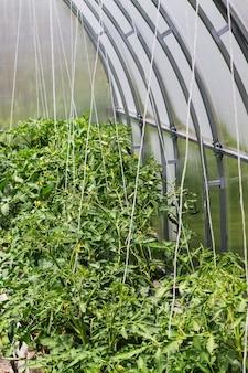 Jonge groene tomatenstruiken die aan het frame van de serre worden gebonden. onscherpe achtergrond