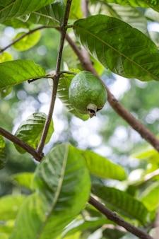 Jonge guavefruit groeit op de boom van dichtbij in de tuin