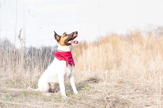 Jonge hond in bandana die van groot zonnig weer in de aard geniet. de vlotte fox-terrierhond zit met gesloten ogen onder langzaam verdwenen gras op een de lentedag