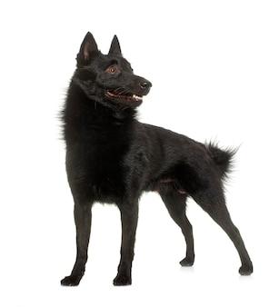 Jonge hond schipperke voor wit