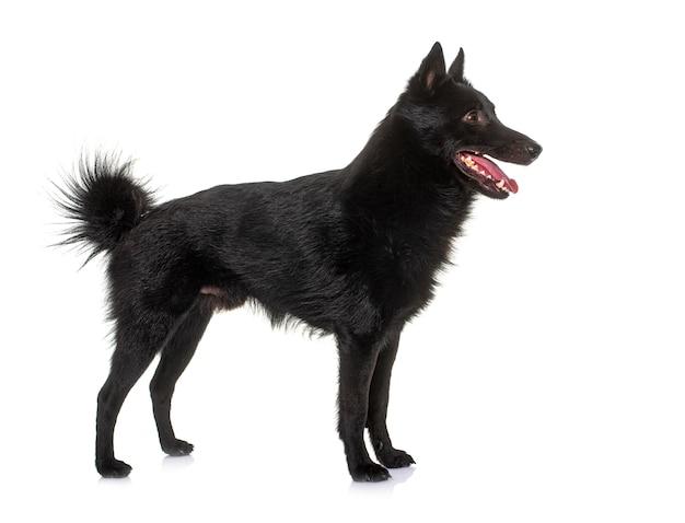 Jonge hond schipperke voor witte achtergrond