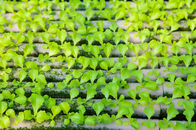 Jonge hydroponicsgroenten die op water groeien