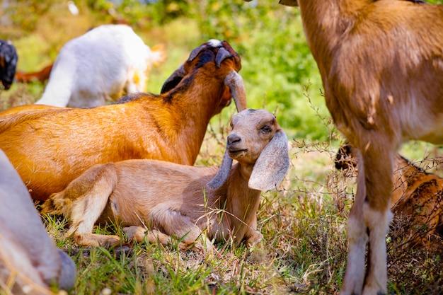 Jonge indiase geit op veld
