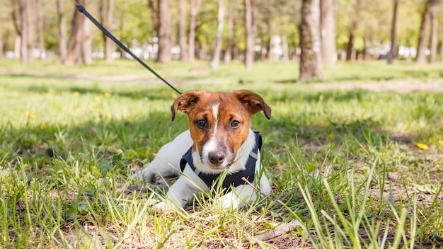 Jonge jack russell terrier-hond buiten op een zonnige zomerdag.