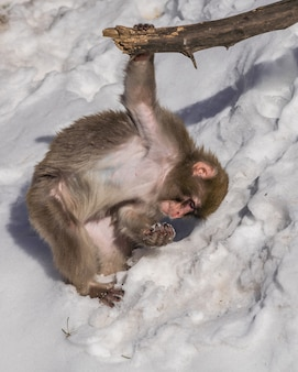 Jonge japanse makaak (macaca-fuscata) die met sneeuw spelen