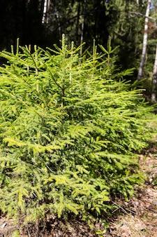 Jonge kerstbomen groeien in het bos op een zonnige dag, zomer