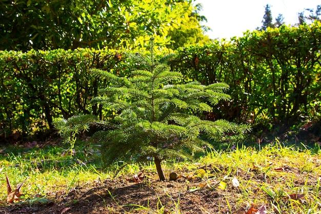 Jonge kerstboom in het park een naaldboom buiten op een zonnige lentedag