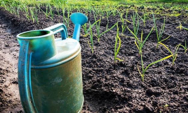 Jonge knoflook ontsproten in de tuin en een gieter