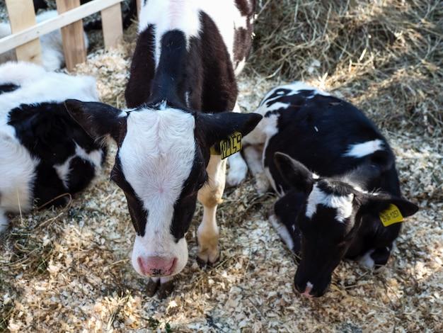 Jonge koe in een stal. veeboerderij. vleesindustrie.