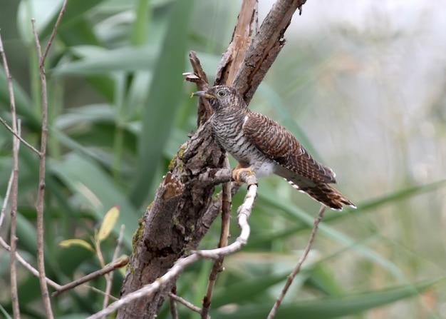 Jonge koekoek zit op een tak dichtbij nest