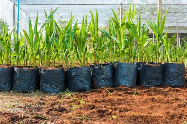 Jonge kokosnoot kleine bomen. preparaten voor dergelijke variëteiten voor het planten van kokospalmen