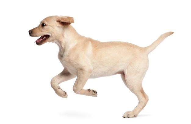 Jonge labrador retriever, 4 maanden oud