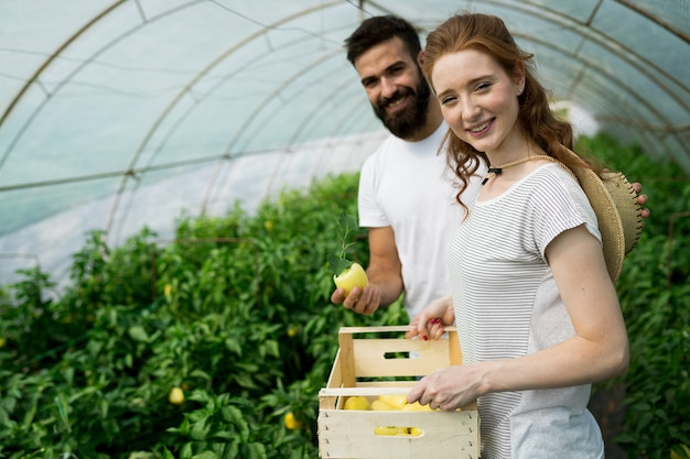 Jonge lachende landbouw vrouw en man werknemer werken, tomaten oogsten in kas.