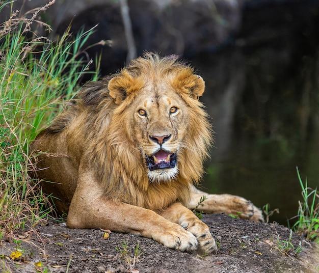 Jonge leeuw dichtbij een kleine vijver in het gras. kenia. tanzania. afrika.