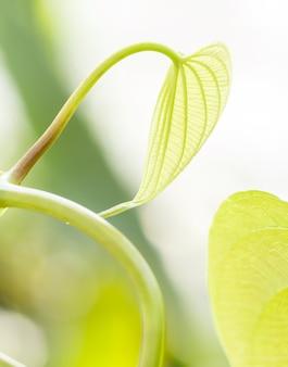 Jonge lichtgroene bladeren van tropische lianen in een botanische tuin