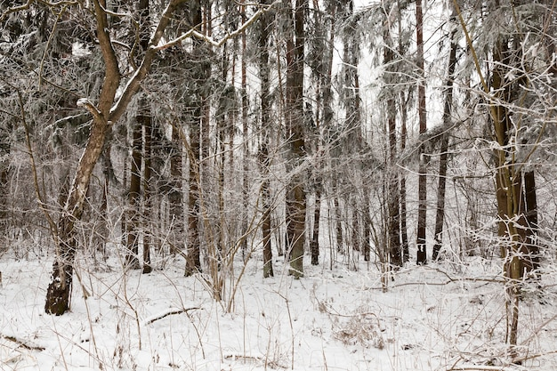 Jonge loofbomen met rijp op takken en hoge oude dennen in een gemengd bos