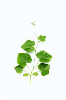 Jonge lvy kalebasplant op wit oppervlak