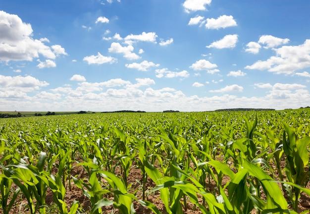 Jonge maïsplanten gefotografeerd close-up onder de hemel met wolken