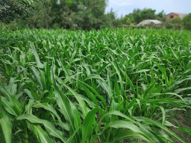 Jonge maïszaailingen op een collectief landbouwbedrijfgebied