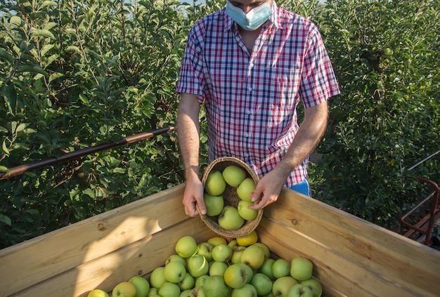 Jonge man in geruite overhemd gouden appels plukken in een fruitboomplantage met gezichtsmasker.
