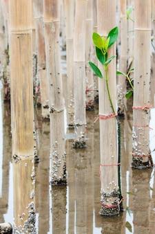 Jonge mangrovenboom in herbebossingsactiviteit