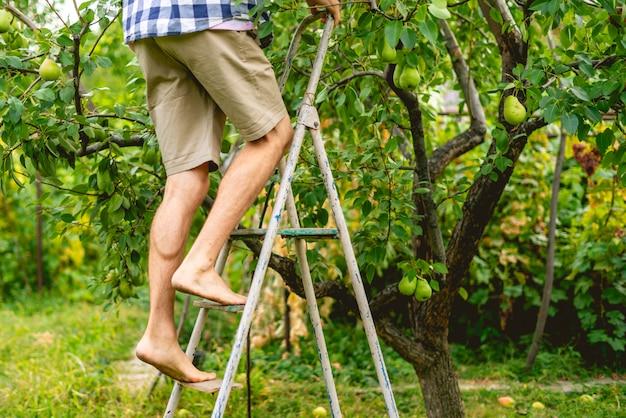 Jonge mannelijke boer in casual fruit plukken uit de boom met behulp van ladder op zomerdag oogst verzamelen.