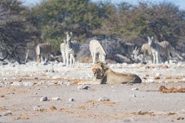 Jonge mannelijke luie leeuw die op de grond ligt. zebra (onscherp) lopen ongestoord. wildlife safari in het etosha national park, namibië, afrika.