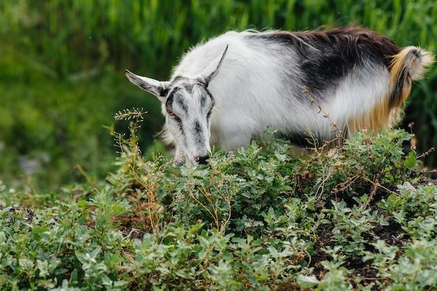 Jonge nieuwsgierige geit close-up op het groene gras. vee grazen, veeteelt.
