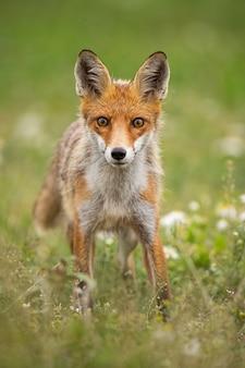 Jonge nieuwsgierige rode vos op een de zomerweide met bloemen