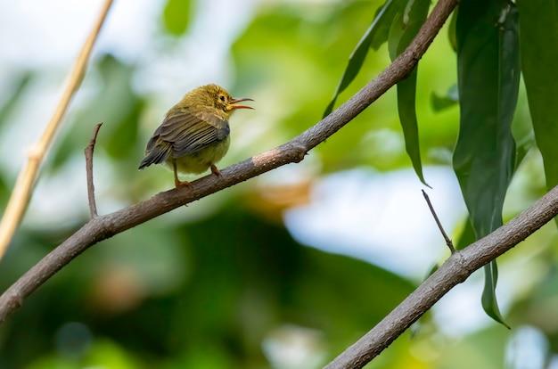 Jonge olive-backed sunbird neerstrijken op de tak, thailand
