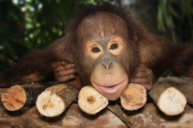 Jonge orangoetan glimlach op de tak