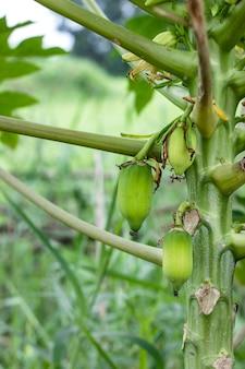 Jonge papajavruchten groeien op een kleine boom in een landbouwbedrijf