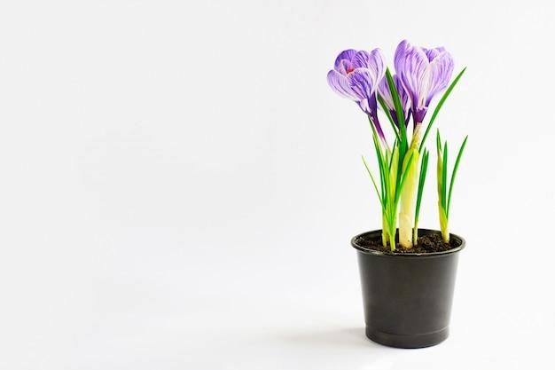 Jonge planten groeien uit de bodem. violette krokus in pot op het wit. eindresultaat van thuis verplanten
