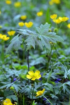 Jonge plataan (acer pseudoplatanus) groeit in het voorjaar