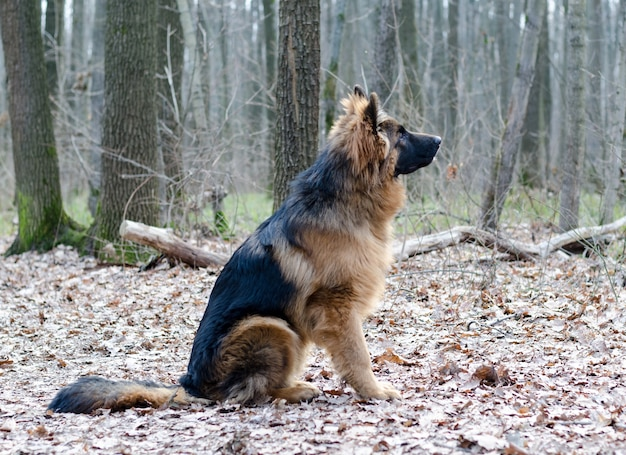 Jonge pluizige duitse herdershond pup zes maanden oud liggend in een bosgrond. rasecht hondenportret.