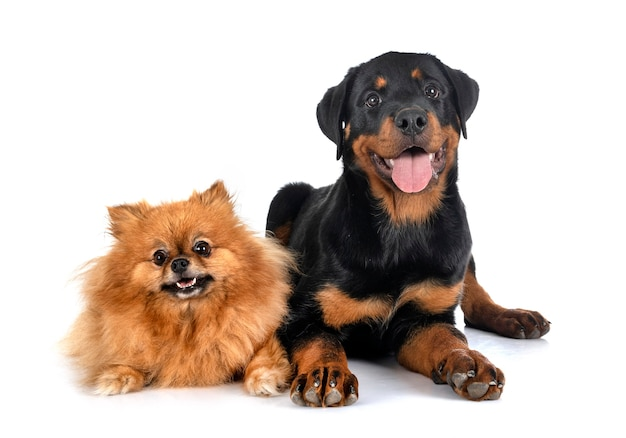 Jonge pommeren en puppy rottweiler voor witte achtergrond