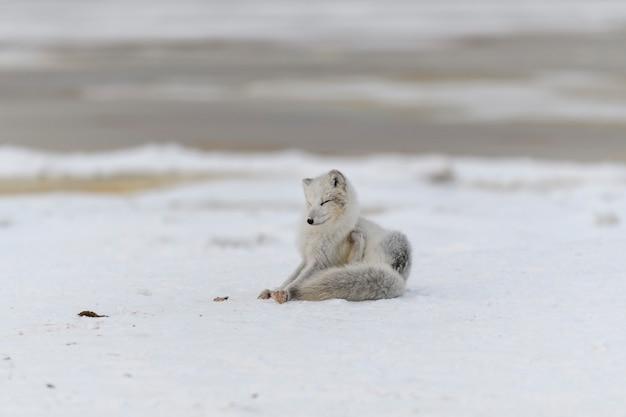 Jonge poolvos in de wintertoendra. grijze poolvos pup.