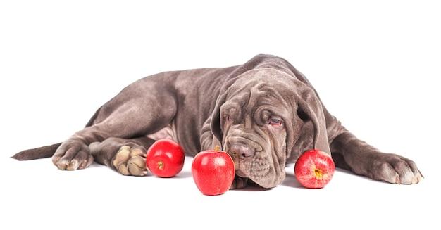 Jonge puppy italiaanse mastiff cane corso en rode appels op witte achtergrond.