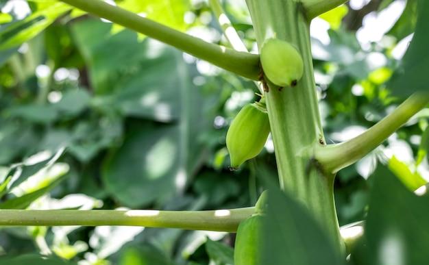 Jonge rauwe groene papaja groeit dicht op de boom