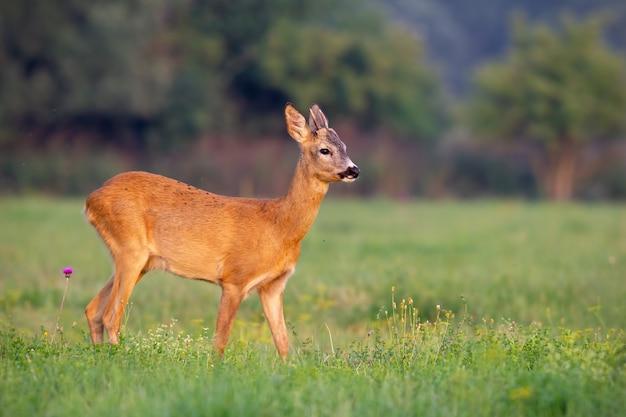 Jonge reeënbok in de zomer op een vers groen gras