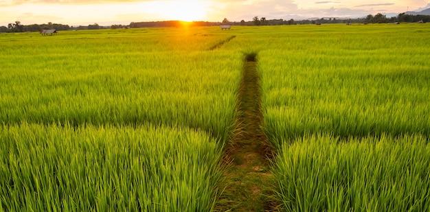 Jonge rijst en weg in velden. padieveld met weg. weg in het midden van rijstvelden.