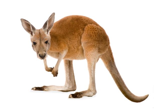Jonge rode kangoeroe (9 maanden) - macropus-rufus geïsoleerd