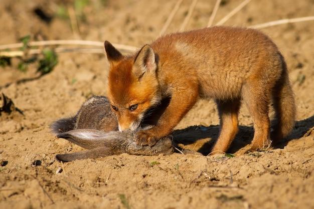 Jonge rode vos, vulpes vulpes, welp staande op gedode prooi met een poot met klauwen