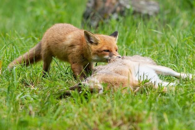 Jonge rode voswelp die een prooi op grasland in de zomeraard scheurt