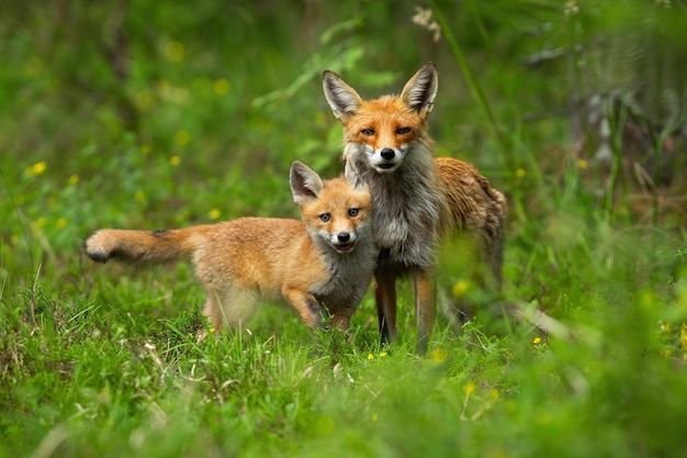 Jonge rode voswelp knuffelen met zijn moeder in de lenteaard.