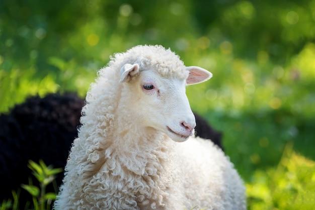 Jonge schapen in een weiland op een boerderij