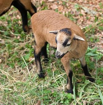 Jonge schapen van kameroen