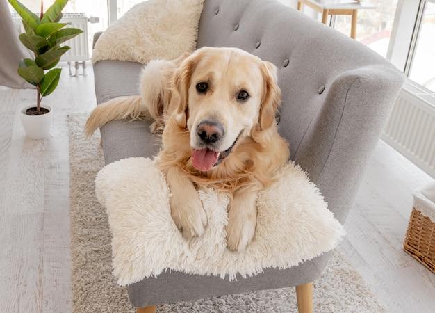 Jonge schattige golden retriever-hond die thuis op de grijze bank ligt en naar de camera kijkt
