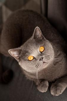 Jonge schattige kat die op houten vloer rust. het britse korthaar rasechte kitten met blauw grijze vacht